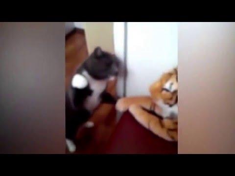 Boxerkatze vs. Spielzeugtiger