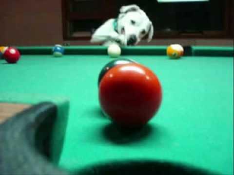 Hund spielt Billard