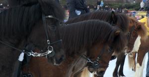 Islandpferde auf dem Eis - eine besonders gutmütige Rasse unter den Pferden